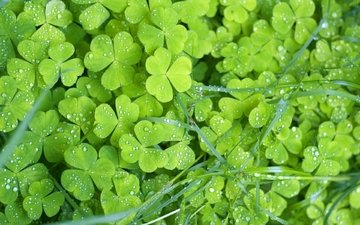 трава, клевер, листья, макро, роса, капли, растение, трилистник