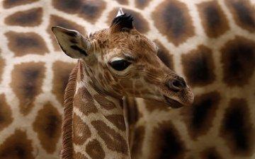 глаза, уши, жираф, жирафы, детеныш