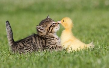 grass, animals, kitty, friendship, duck