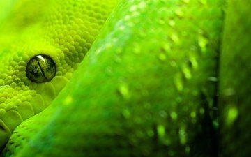 macro, snake, eyes, green, scales, eye, reptiles, reptile