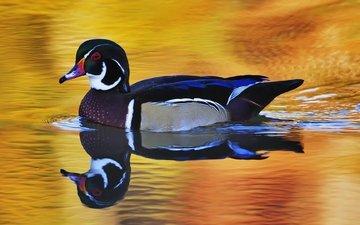 вода, отражение, птица, утка, плывет, селезень