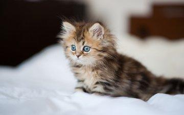кошка, котенок, постель, пушистая, дейзи, бен тород, простынь.