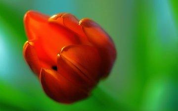 макро, фон, цветок, красный, размытость, тюльпан
