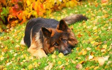 трава, листья, осень, собака, лежит, немецкая овчарка, длинношерстная