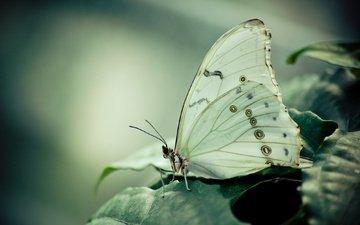 листья, макро, бабочка, насекомые, растение, белая, морфо