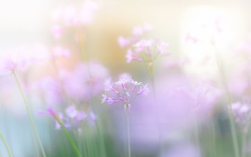 цветы, размытость, весна, розовые, нежные, полевые