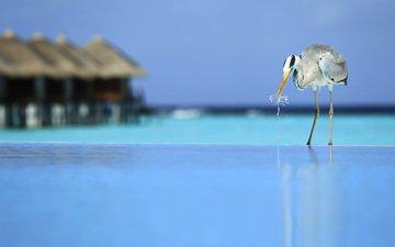 tropics, heron, the maldives