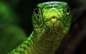 глаза, змея, зеленая, голова, пресмыкающееся