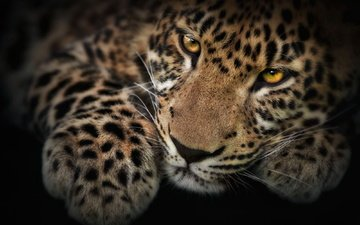 мордочка, взгляд, котенок, леопард, лапа, детеныш