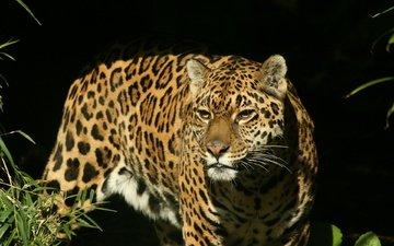 морда, взгляд, хищник, ягуар, охота