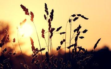 трава, солнце, закат, макро, колоски