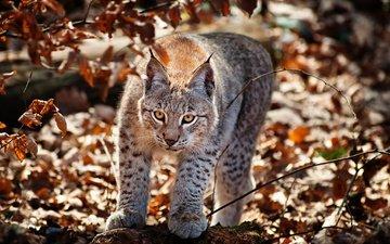 рысь, листва, взгляд, осень, хищник, дикая кошка, кисточки, рыси, крадётся