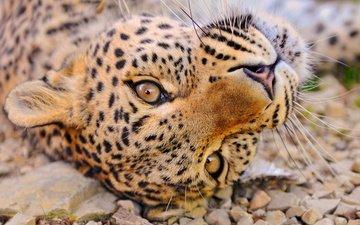 морда, галька, усы, взгляд, лежит, леопард, отдых, любопытство