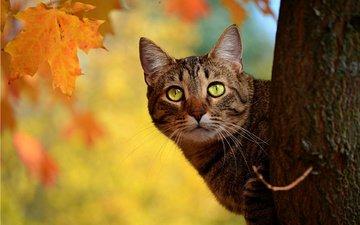 дерево, кот, кошка, осень, ствол, полосатый, выглядывает