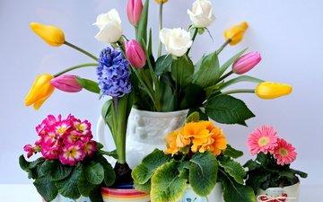 цветы, розы, горшки, букет, тюльпаны, ваза, герберы, примула, гиацинт
