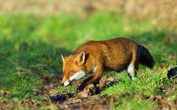 трава, рыжая, лиса, лисица, охота