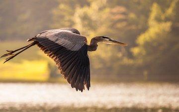 the sky, lake, nature, flight, wings, bird, heron