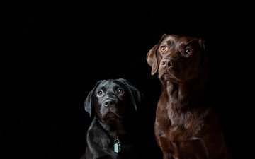 black background, friends, dogs