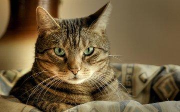 кот, усы, кошка, взгляд, ушки, зеленые глаза, полосатый