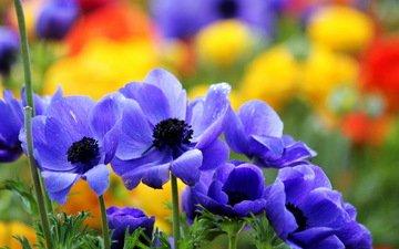 цветы, макро, лето, сад, синие, яркие, анемоны