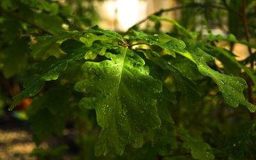 ветка, листья, макро, капли, зеленые, дубовые