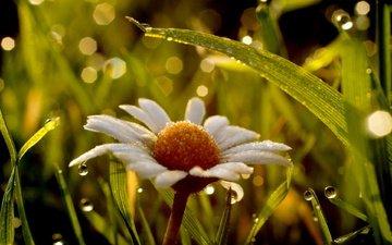 трава, макро, цветок, роса, капли, ромашка