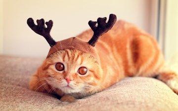 морда, кошка, взгляд, шапка, рожки, скоттиш-фолд, шотландская вислоухая кошка