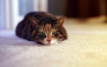 кот, кошка, взгляд, дом, отдых, уют