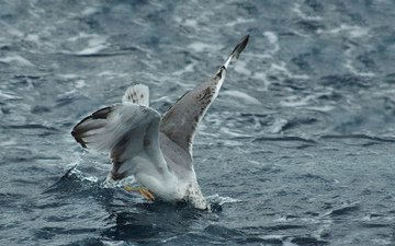 волны, море, чайка, птица, охота, атака, погружение