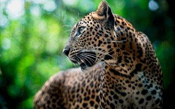 морда, усы, леопард, хищник