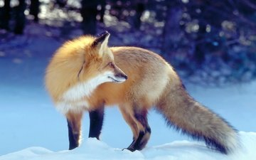 снег, зима, рыжая, лиса, хищник, лисица, охота, хвост, ожидание