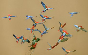 flight, wings, birds, ara, parrots
