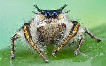 макро, лист, паук, глазастый, прыгун, джампер, волохастый, скакунчик, прыгающий паук