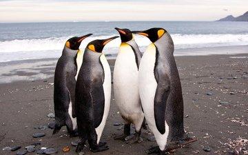 птицы, антарктида, пингвины, императорские, королевские