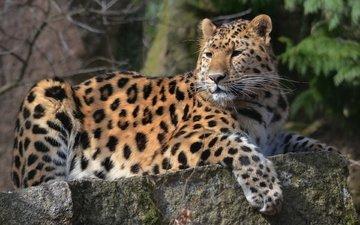 морда, усы, взгляд, лежит, леопард, хищник, лапа, пятнистый, на камне