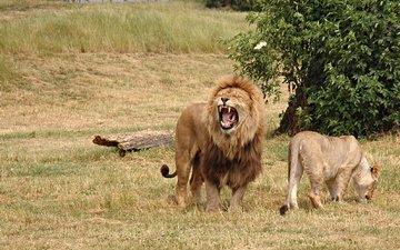 трава, дерево, поле, львы, лев, охота, бревно, львица, агрессия