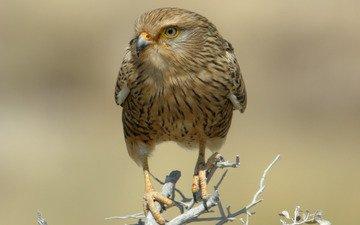 ветка, хищник, птица, сухая, сокол, намибия, национальный парк