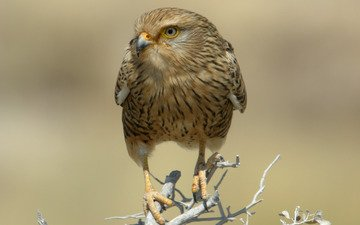 branch, predator, bird, dry, falcon, namibia, national park