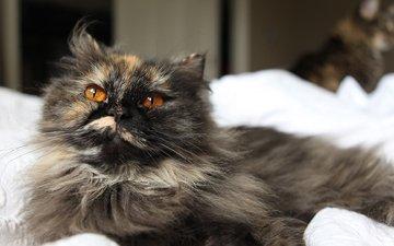 глаза, кот, кошка, взгляд, лежит, пушистая