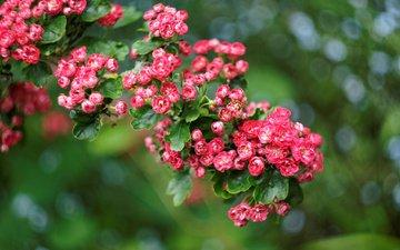 цветы, розы, шиповник, куст, растение, размытость. блики