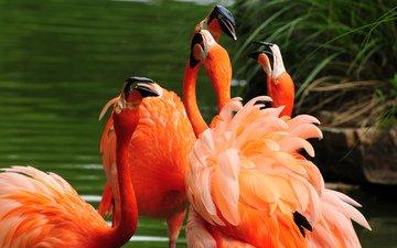 вода, фламинго, птицы, оперение, клювы
