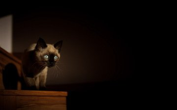 background, cat, look, kitty, room, siamese