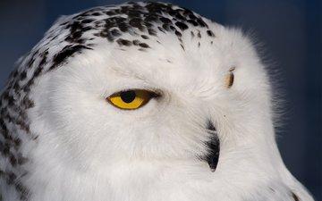 сова, птица, голова, оперение, пушистая, полярная, сова белая