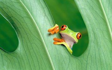 глаза, зелёный, макро, лист, лягушка