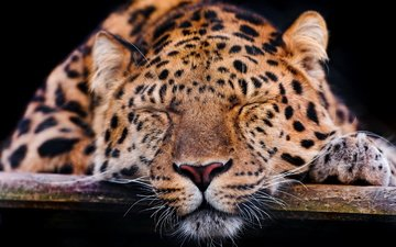морда, усы, спит, леопард, темный фон, лапа