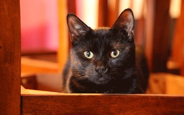глаза, кот, кошка, взгляд, черный, ушки