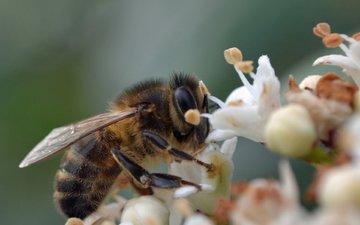 цветы, макро, насекомое, пчела