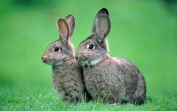 трава, природа, фон, животные, серые, кролики