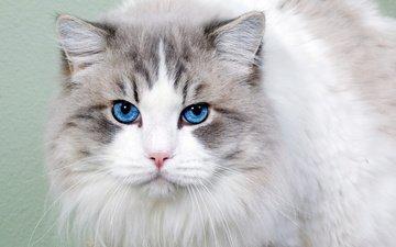 морда, кот, кошка, взгляд, пушистая, голубоглазая