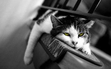 кот, кошка, лежит, коврик, сонный